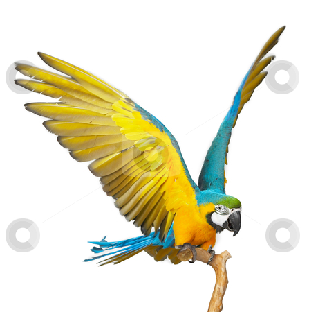 Parrot stock photo, colorful parrot isolated in white background by krasyuk