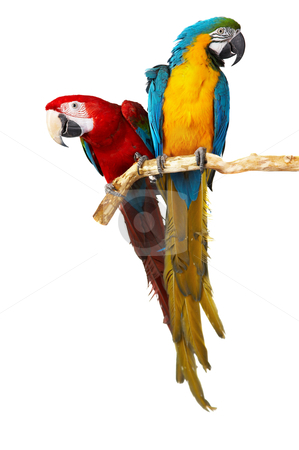 Two parrots stock photo, two parrots colorful isolated in white background by krasyuk