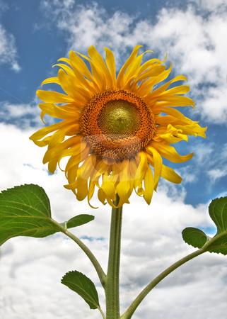 Beautiful sunflower stock photo, Beautiful sunflower against the dark blue sky with clouds by krasyuk