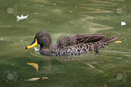 Duck stock photo, A Duck Swimming in the Water with reflection by Lucy Clark