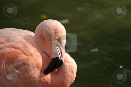 Flamingo stock photo, A Pink Flamingo in front of water by Lucy Clark