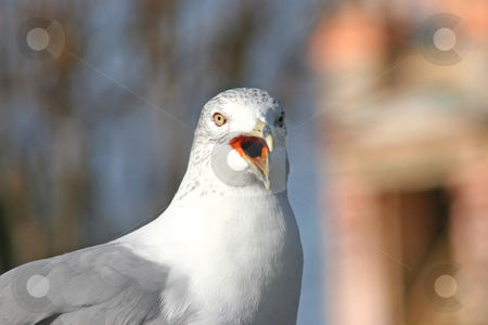 Seagull stock photo, A seagull gazing into the distance with beak open by Lucy Clark