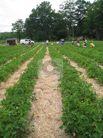 Strawberry Field stock photo, Strawberry Field in Connecticut by Ritu Jethani