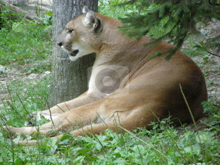 Puma stock photo, Puma in the Wild by Ritu Jethani