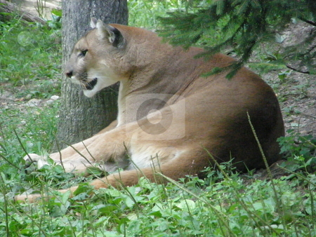 Puma stock photo, Puma in the Wild by Ritu Jethani