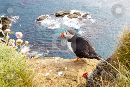 Puffin on the rock - Latrabjarg, Iceland stock photo, Latrabjarg - Iceland. Puffin on the rock. by Tomasz Parys