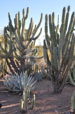 Cactus stock photo, Cactus in the Desert by Ritu Jethani