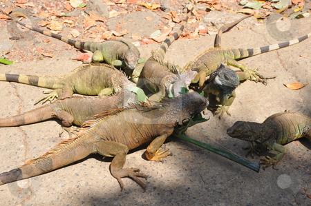 Iguana stock photo, Iguana in the Wild by Ritu Jethani