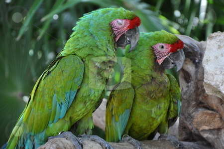 Parrots stock photo, Green Parrots by Ritu Jethani