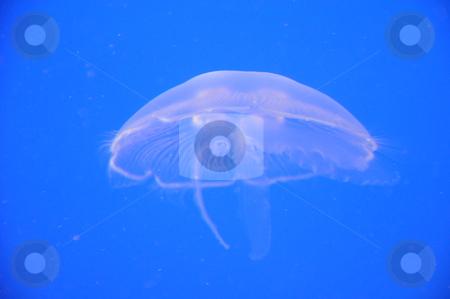 Jellyfish stock photo, Jellyfish Underwater by Ritu Jethani