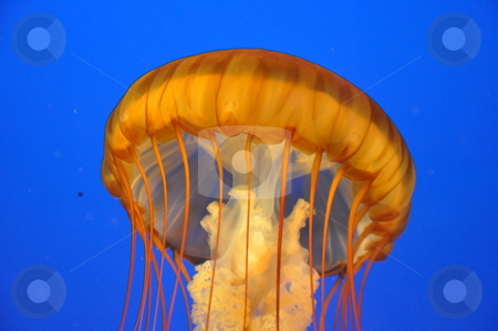 Jellyfish stock photo, Jellyfish Underwater by Ritu Jethani