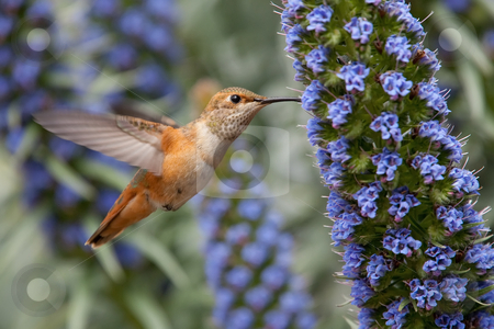 Allen's Hummingbird (Selasphorus sasin) stock photo, Allen's hummingbird feeding on pride of Madeira flowers. by Glenn Price