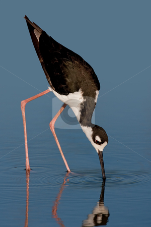 Black-necked Stilt (Himantopus mexicanus) stock photo, Black-necked stilt foraging against blue background. by Glenn Price