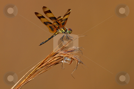 Halloween Pennant (Celithemis eponina) stock photo, Halloween Pennant resting on reeds against copper background. by Glenn Price