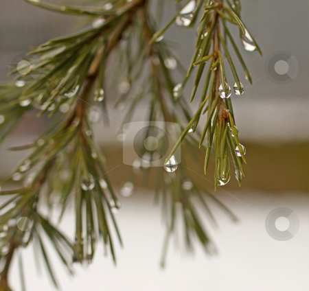 Drops stock photo, Closeup on drops over a pine tree by Fabio Alcini