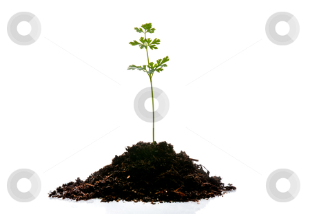 Young plant stock photo, Young plant isolated on white background. by Homydesign
