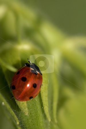 Lady bug stock photo, Tiny red lady bug on Okra plant stem by Sreedhar Yedlapati