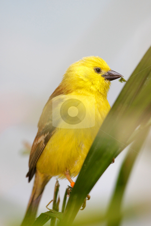 Golden white eye bird stock photo, Close up shot of beautiful Golden white eye bird by Sreedhar Yedlapati