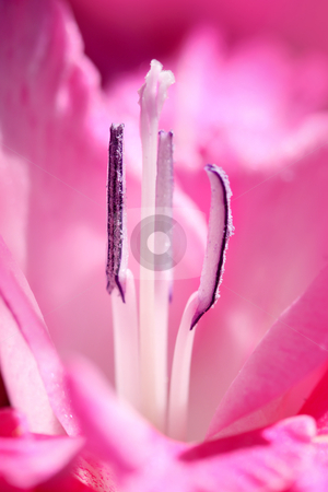 Flower stamens stock photo, Internal details macro shot of purple Gladiolus flower by Sreedhar Yedlapati