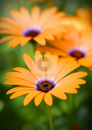 Orange Daisy flowers  stock photo, Close up shot of Orange daisy flowers  by Sreedhar Yedlapati
