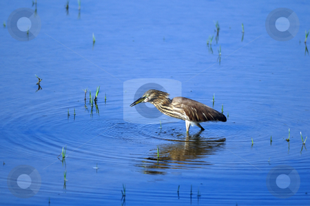 Indian Pond Heron stock photo, Indian Pond Heron in his natural habitat by Arvind Balaraman