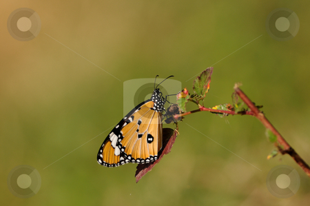 Plain Tiger stock photo, A beautiful plain tiger butterfly on a bright sunny day by Arvind Balaraman