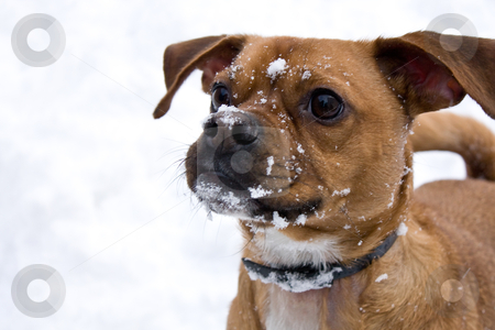 Dog in the snow stock photo, Dog with a snow covered face by MWilkinson Photography