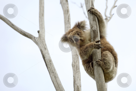 Wild Koala up a tree stock photo, Wild Koala up a tree (not a zoo image) by © Ron Sumners