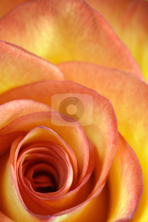 Orange and yellow rose macro stock photo, Shallow depth-of-field image of the centre of a orange and yellow rose. by © Ron Sumners
