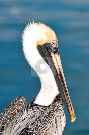 Pelican Portrait Close Up with Ocean in Background stock photo, Pelican Portrait Close Up with Ocean in Background by Brandon Bourdages