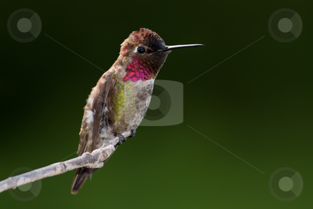 Anna's Hummingbird (Calypte anna) stock photo, Male Ana's Hummingbird against dark green background. by Glenn Price