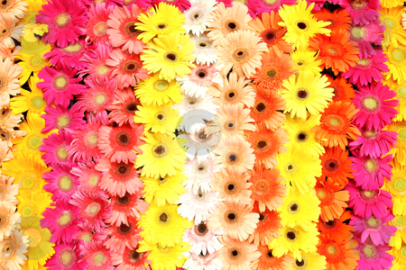 Multicolor Flower background  stock photo, Multicolor Flower background by rufous