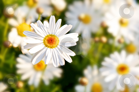 Daisy Flowers stock photo, Field of daisy flowers in springtime by instinia