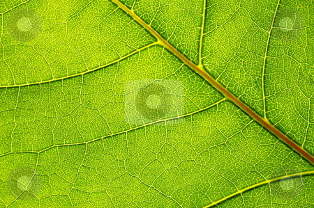 Structure and texture of green leaf stock photo, structure and texture of green leaf can be used as background by Gunnar Pippel
