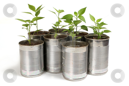 Chilli plants in tin pots stock photo, Young chilli plants in recycled silver tin pots on white by Mornay Van Vuuren