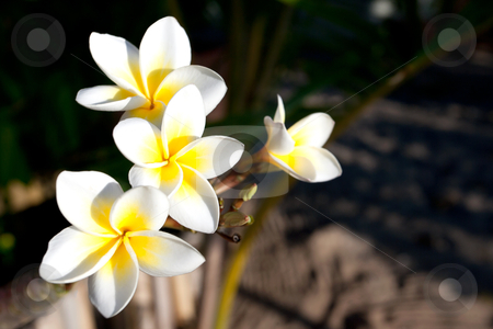 Frangipani flowers stock photo, Three flowers of frangipani (plumeria), tropical flower by Pierre-Yves Babelon
