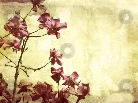 Beautiful grunge background with magnolia stock photo, Beautiful grunge background with magnolia flowers by Juliet Photography
