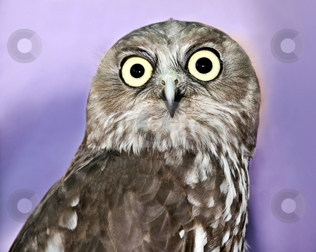 Portrait shot of a Barking owl  stock photo, Portrait shot of a Barking owl  by Laura Smith