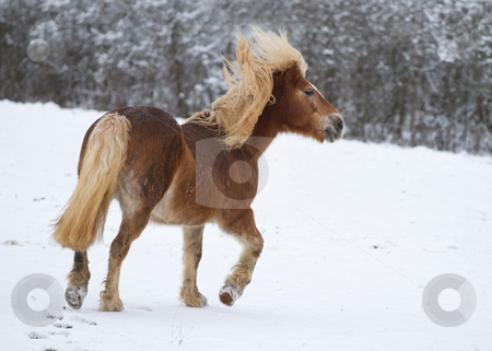 Horse in snow stock photo, A young Horse in a snowy landscape by Christophe Rolland