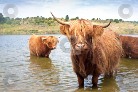 Scottisch highland cow stock photo, cattle of scottisch highland cows  by twixx