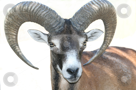 Mouflon stock photo, mouflon close-up isolated over white background by Stelian Ion