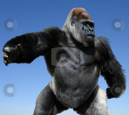 Gorilla stock photo, comic close-up image of gorilla - isolated on blue background by Stelian Ion