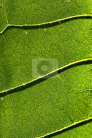 Green leaf background stock photo, Extreme close up shot of green leaf background by Sreedhar Yedlapati