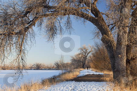 Winter trail stock photo, a natural area trail along frozen lake framed by large cottonwood trees, winter scenery with distant person walking dogs, Fort Collins, Colorado by Marek Uliasz