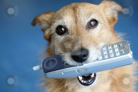 Dog holding a phone in her mouth stock photo, Cute scruffy terrier dog holding a phone in her mouth by suemack
