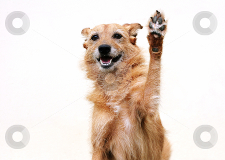 Dog doing high five stock photo, Cute scruffy terrier dog with her paw raised doing high five by suemack