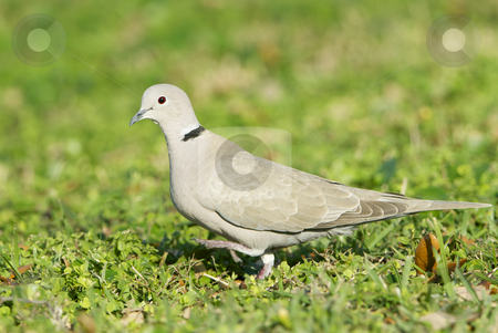Eurasian Collared Dove, Streptopelia decaocto stock photo, Eurasian Collared Dove, Streptopelia decaocto, walking on green grass by visceralimage