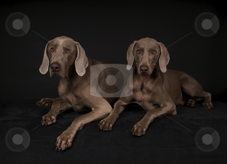 Weimaraner Dogs stock photo, Pair of Weimaraner dogs on black with black background by visceralimage