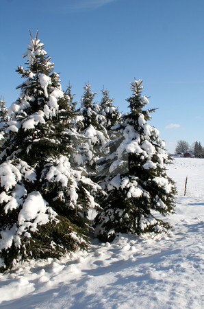 Rural Snowy Evergreens stock photo, A group of snow covered evergreens shot in the countryside. by Chris Hill