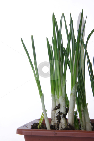 White crocus on a white background stock photo, Beautiful white crocus on a white background by Piotr_Marcinski